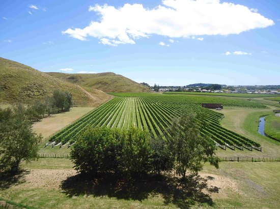 Absolute de Tours: Some of the vines at Mission Winery