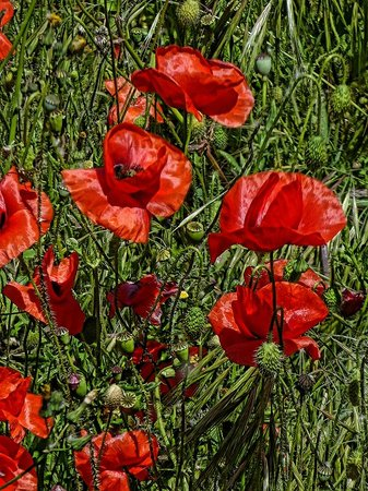 Le site cathare de Minerve: French poppies blooming along the walkway from the parking area to the city of Minerve