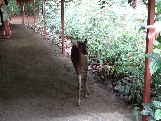 Foundation Jaguar Rescue Center: Ciervo