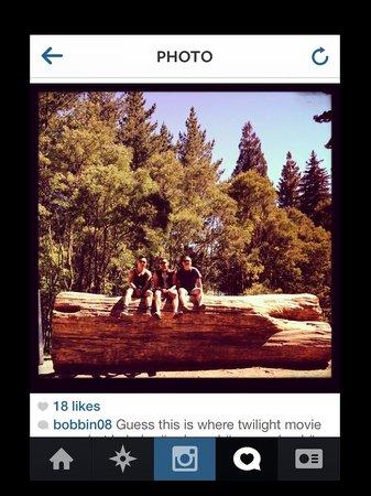 Redwoods, Whakarewarewa Forest: redwoods with mates