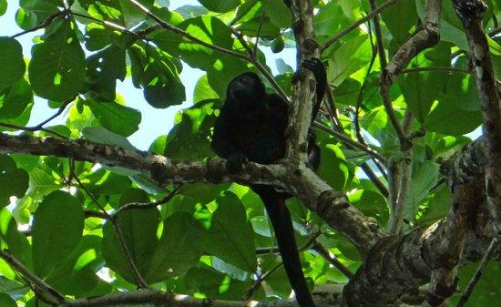 Puerto Viejo Beach: Mono aullador en árboles entre la playa y el camino