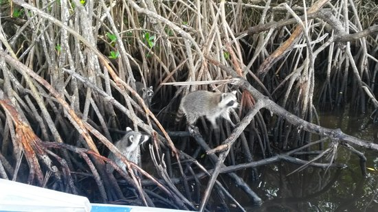 Everglades City Airboat Tours: Ringtailed Swamp Monkies