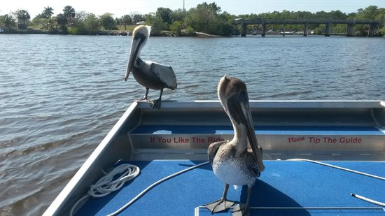 Everglades City Airboat Tours: Airboat moochers
