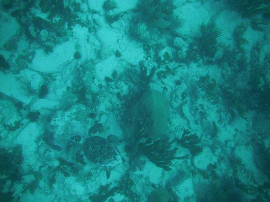 Octopus Diving: Sea Turtle