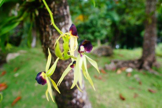 Alejandro de Humboldt National Park: Orquidea chocolate, que tem esse cheiro