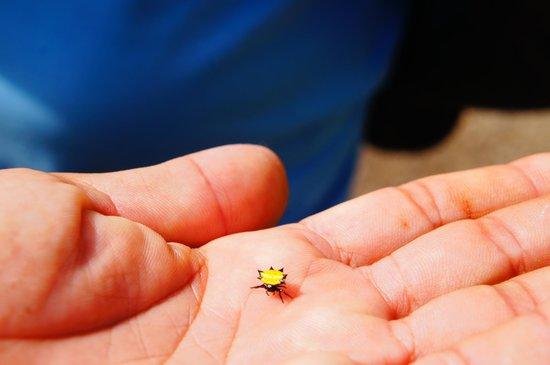 Alejandro de Humboldt National Park: Aranha amarela