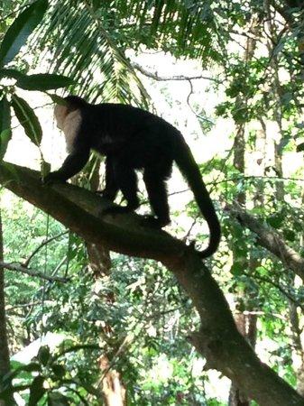 Mango Moon Villa: White faced monkey going for a climb