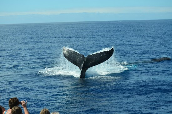 Pacific Whale Foundation : This was right off the bow of the boat!