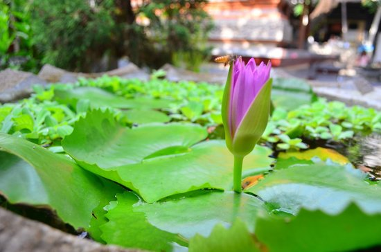 Kubu Kauh Beach Inn Legian: Lotus blooming