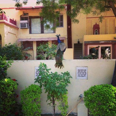 Rohet Garh : Peacock in the garden