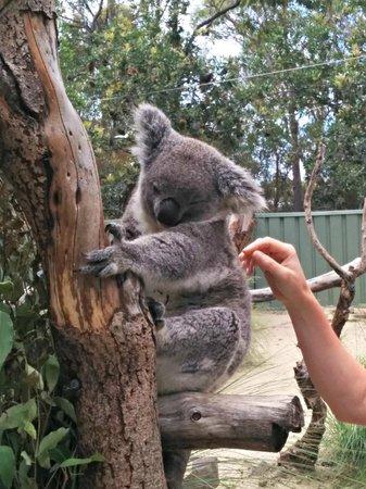 Kangarrific Tours : Koala! :)