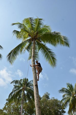 Loola Adventure Resort: Coconut Tree Climbing