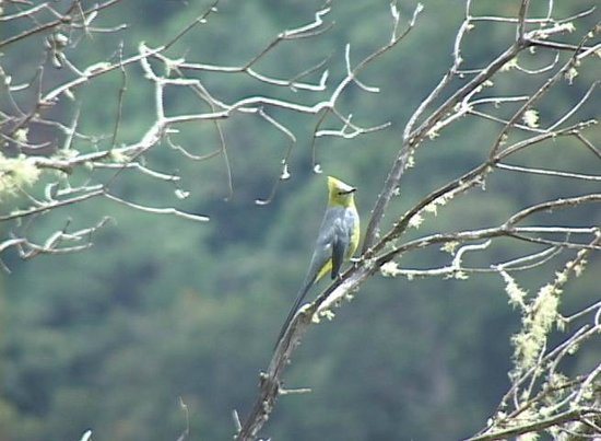 Quetzal Valley Cabins: if your lucky Silky Flycatchers