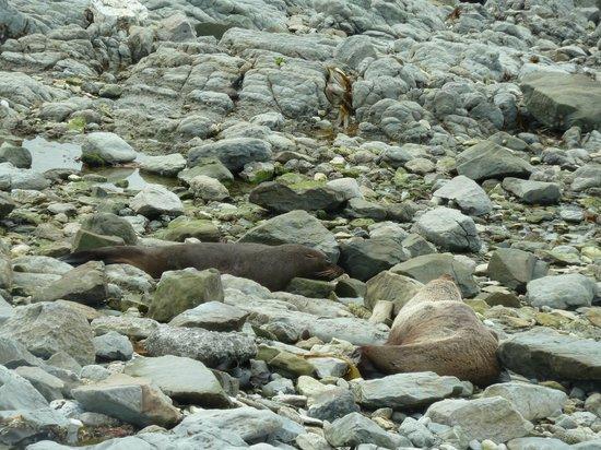 Colonia de focas: New Zealand Fur Seals