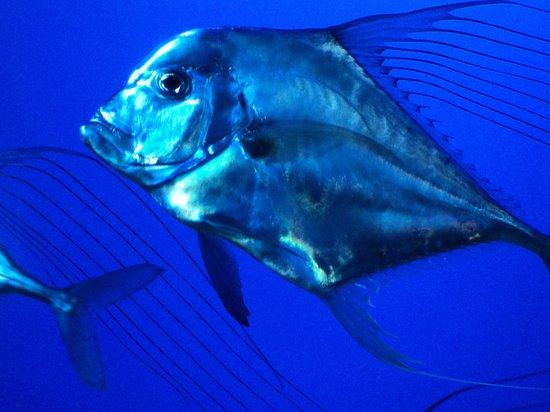 Sea Life Melbourne Aquarium: Trevally.
