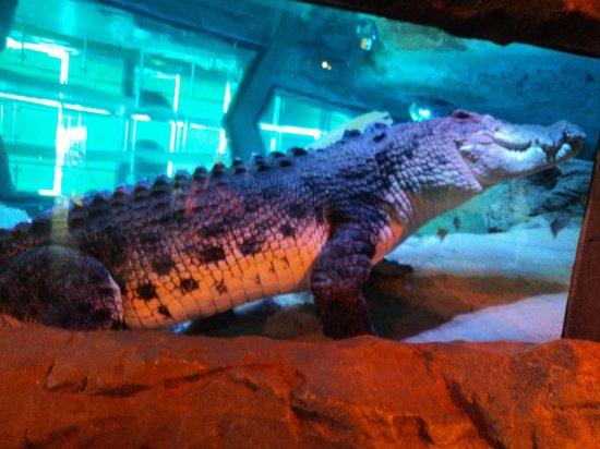 Sea Life Melbourne Aquarium: Crocodile