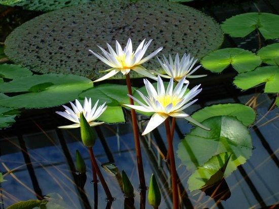 Botanischer Garten Muenchen-Nymphenburg: Seerosen Pracht
