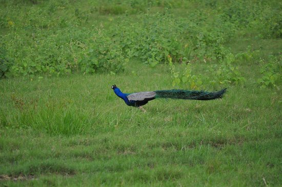 Minneriya National Park: paon