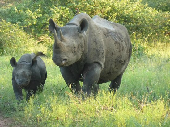 Royal Malewane: After 15 Safari's - at last Black Rhino!