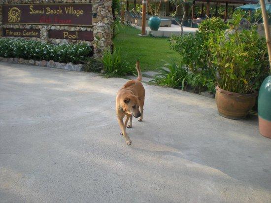 Shiva Samui: resort dog