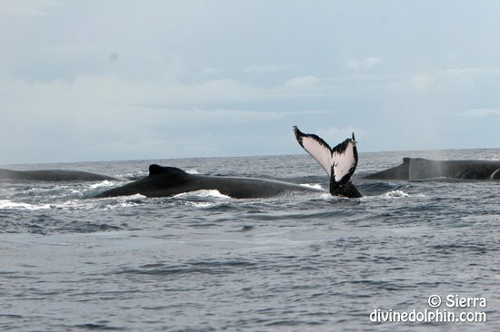 Drake Bay, Costa Rica: We have almost year round Humpback Whales