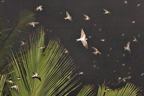 The Frangipani Tree by Edwards Collection: Incoming swallows