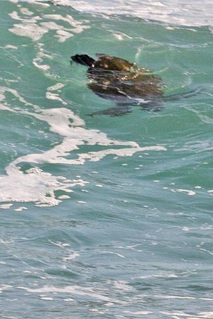 The Frangipani Tree by Edwards Collection: Turtle in wave