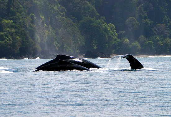 Drake Bay, Costa Rica: Humpbacks by the Coast