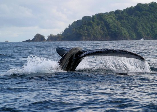 Drake Bay, Costa Rica: Humpbacks by the island