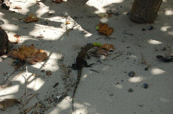Isla Iguana: Una delle numerose iguane