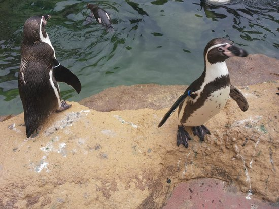 Zoo de Barcelona: Pinguini Giocosi