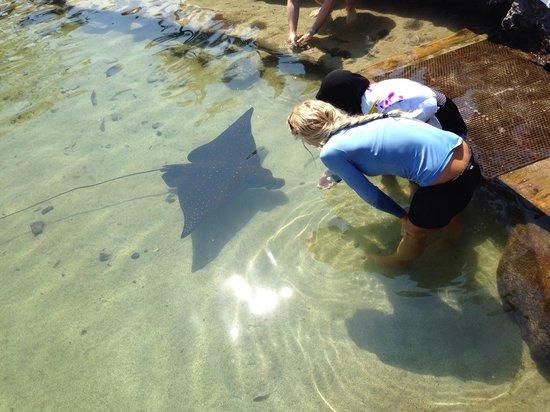 Four Seasons Resort Hualalai: Eagle ray at King's Pond
