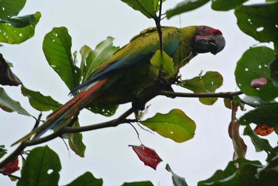 Posada Andrea Cristina: Great green macaw