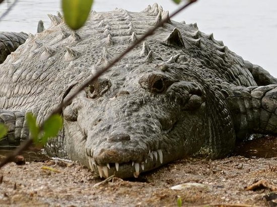 Colinda Cabanas: I photographed this croc on a walk we took around the south point one day near the airstrip.