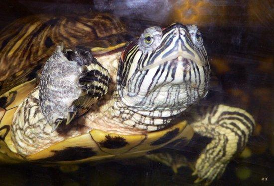 The Aquarium and the Black Sea Museum: Красноухая черепаха (лат. Trachemys scripta)