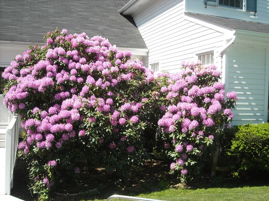 Wooden Duck B&B: Rhododendron in full bloom