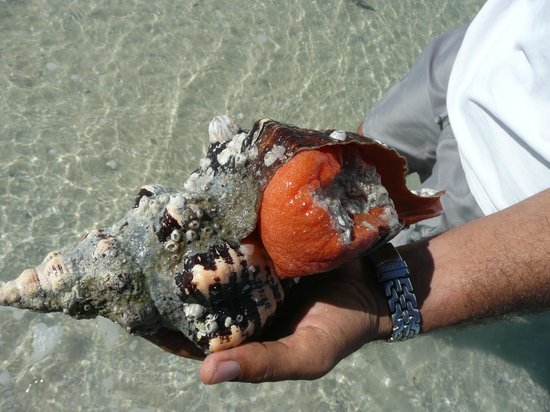Kayak Marco : Rare Florida snail we rescued from the beach and returned to H20.