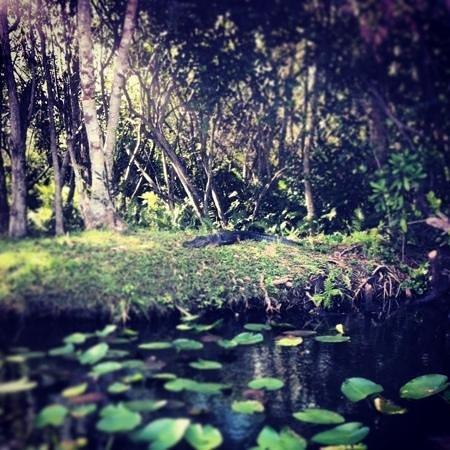Everglades Safari Park: Gator chillaxin' in the Glades