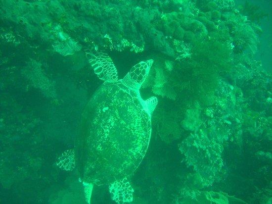 Ocean Sun Dive Resort Tulamben: Schildkröte