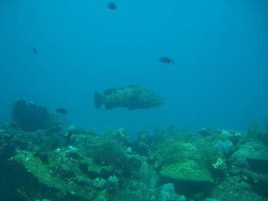 Ocean Sun Dive Resort Tulamben: Zackenbarsch