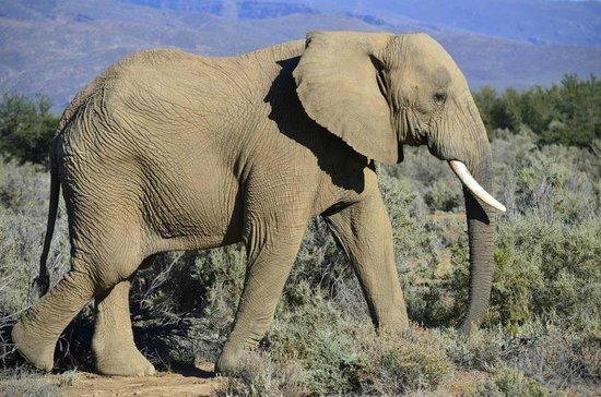 Inverdoorn Game Reserve : Make way for elephants