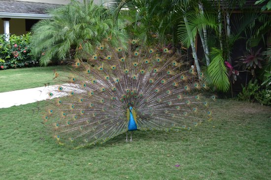Sandals Royal Caribbean Resort and Private Island: The very famous Peacock