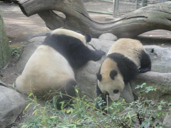 San Diego Zoo: Pandas