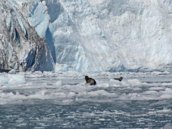 Liquid Adventures : Seal on iceberg in front of Aialik Glacier