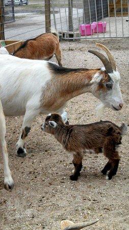 Big Cat Habitat and Gulf Coast Sanctuary: Baby Goat with Mama Goat