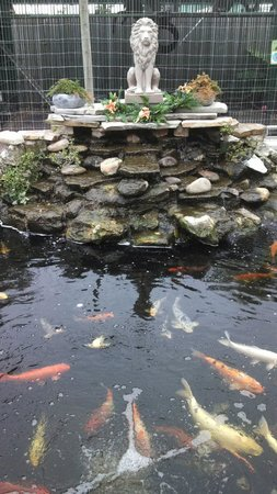 Big Cat Habitat and Gulf Coast Sanctuary: Beautiful Koi Pond