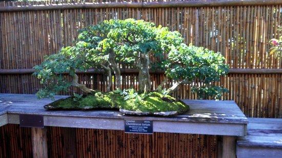 Marie Selby Botanical Gardens : Bonsai Tree Display