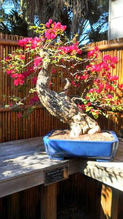 Marie Selby Botanical Gardens: Pretty Bonsai Display