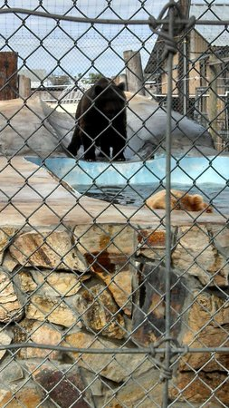 Big Cat Habitat and Gulf Coast Sanctuary: Bears enjoying their swimming pool