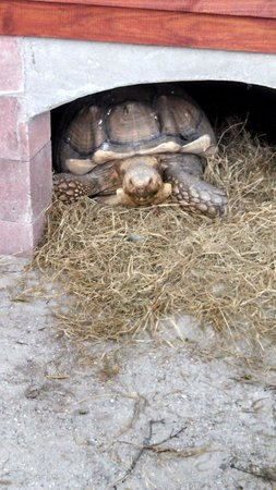Big Cat Habitat and Gulf Coast Sanctuary : Even turtles have a home here...